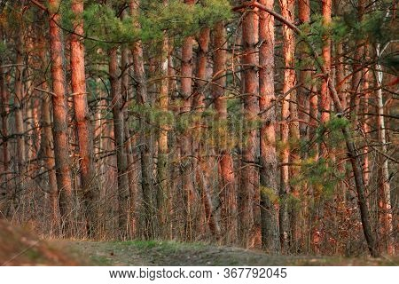 Pine Forest Landscape Nature Background Illuminated By Sunset Sunlight