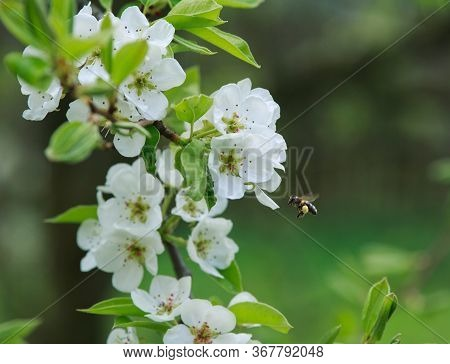 Bee With Pollen Flies Up To White Flowers On A Branch Of An Apple Tree Tree In A Green Garden