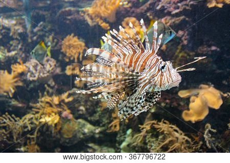 Red Lionfish - Beautiful And Dangerous Animals. A Very Dangerous Fish Of The Caribbean Sea