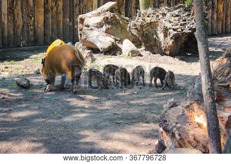 Red River Hog With Few Little Piglets In The Zoo