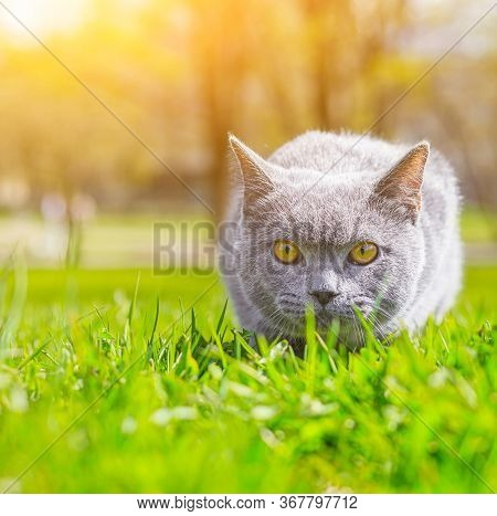 Gray Cat Lies On The Lawn. Pet For A Walk. Pet Is Afraid Of The Street. An Article About Walking Cat