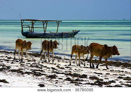 Cow In Zanzibar