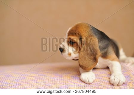 A Small Cute Beagle Puppy Looking To The Side On The Table Lay.a Beagle Puppy With A Wrinkled Face