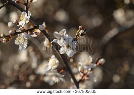 Mirabelle Plum, Mirabelle Prune Or Cherry Plum (prunus Domestica Subsp. Syriaca) Flowering