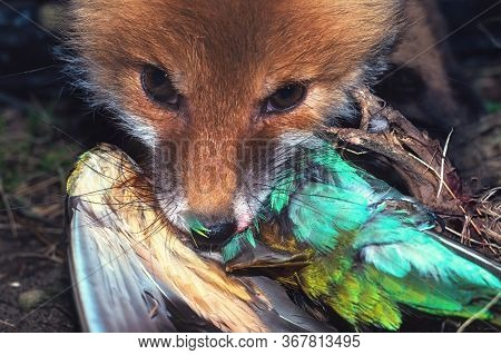 Young Red Ginger Fox Eats Rare Beautiful Bird Caught Wildfowl Juicy Colorful Shot. Predator With Pre