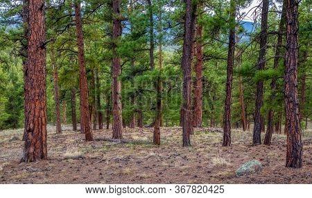 Pine Tree Forest Near Wellington Lake And Buffalo Creek, Colorado, Usa