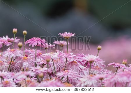 Beautiful Daisy Garden, The Daisy Has Pink Flowers And Orange Stamens In The Spring-summer Garden. N