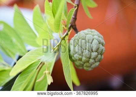 Sugar Apple Or Custard Apple On Tree In The Garden Tropical Fruit Nature Green Background / Annona S