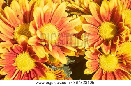 Orange Gerbera Daisy Or Gerbera Flower With Water Drop And Natural Light In Garden Background