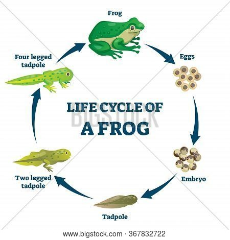 Life Cycle Of A Frog Vector Illustration. Labeled Education Growth Scheme. Transformation Process Wi