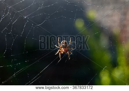 Spider Web With Dew Drops On A Dark Background. Insect In The Wildlife. The Spider Weaves A Round Co