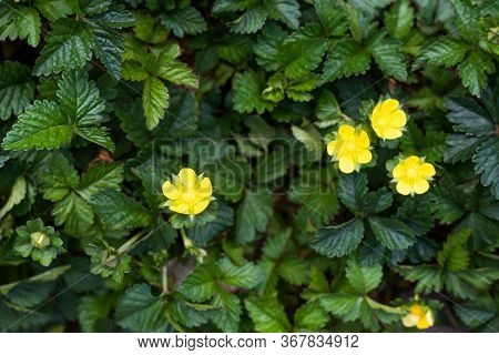 Beautiful Small Yellow Flowers Glowing In The Grass. Summer Day In Full Bloom. Bright Flower Postcar