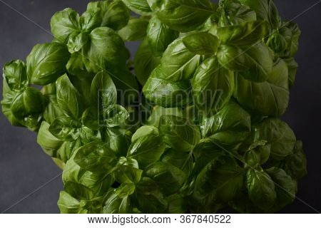 Fresh Basil On A Dark Background. Green Basil. Green Basil On A Dark Background. Food Background. A