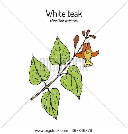 White Teak, Or Gamari Gmelina Arborea , Medicinal Plant. Hand Drawn Botanical Vector Illustration
