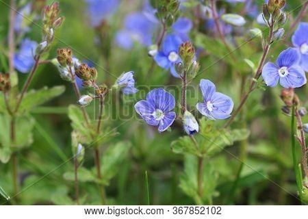 Veronica Persica Or Birdeye Speedwell. Wild Flower Veronica Oak
