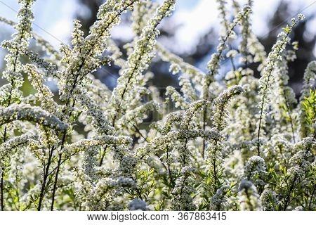 Thunberg Spirea (spiraea Thunbergii) Bush In Blossom. Background Of White Flowers