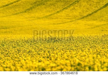 Canola Flower And Large Yellow Agriculture Rapeseed Field In Bloo