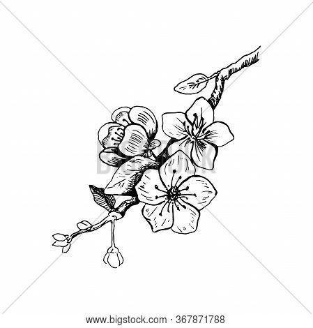 Cherry Blossom. Hand Drawn Vector Illustration In Sketch Style. Isolated On White. Freehand Sakura O