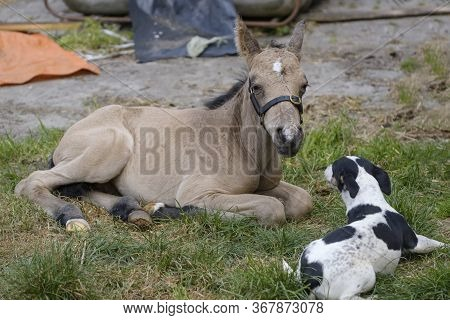 Cute Newborn Colt, Yellow Dun Color. Lying In Grass On A Spring Day. Little Dog In Front Of The Foal