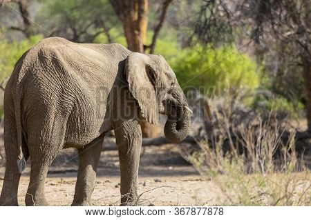 Rear Side View Of A Solitary African Desert Elephant Feeding At The Edge Of A Dried River Bed In Nam