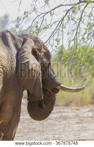 Close Up Head And Shoulders Rear Three-quarter View Of A Solitary Male African Desert Elephant Feedi