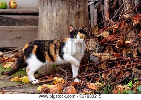 Curious Calico Cat Walking Outside. Predator In The Autumn Garden. Fruit Composition On The Backgrou