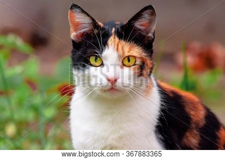 Curious Calico Cat Sitting Outside. Predator In The Autumn Garden