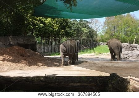 Photo Of The Asian Elephant (elephas Maximus), Also Called Asiatic Elephant, The Only Living Species