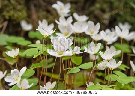 Wood Sorrel Or Oxalis Flowers On Glade In Spring