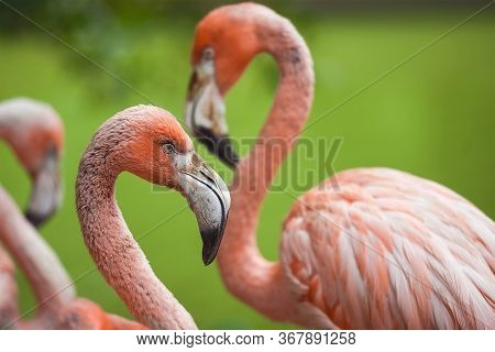 Beautiful Pink And White Flamingo Birds On A Green Background. Group Of Flamingos In The Park. Summe