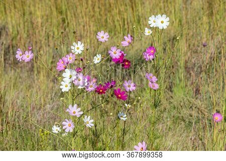 White And Different Shades Of Pink And Red Cosmos Flowers, Cosmos Bipinnatus