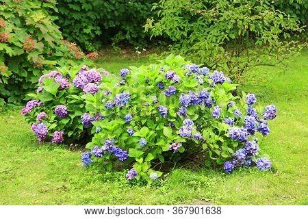 Hydrangea Blooming In Summer Garden. Beautiful Hydrangea Macrophylla Growing On Green Grass. Blossom