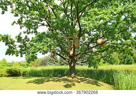 Large Oak Tree With Artificial Hornet's Nests In Summer Park. Sprawling Oak Tree With Hornet's Nest