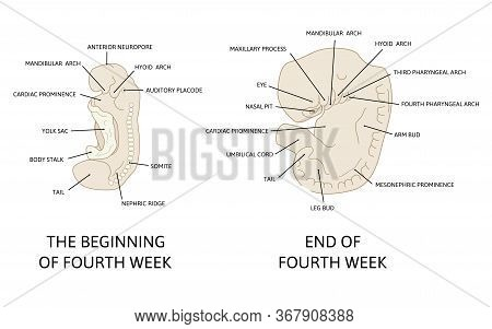 Stages In Development Of Human Embryo During The Period Of Early Organogenesis. The Fourth Week Og P