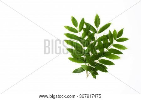 Green Rowan Leaves Isolated On White Background Top View With Copy Space. Floral Nature Flat Lay. Ec