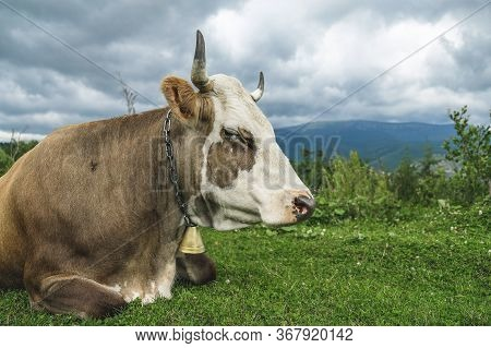 The Cow Lies On An Alpine Meadow High In The Mountains.