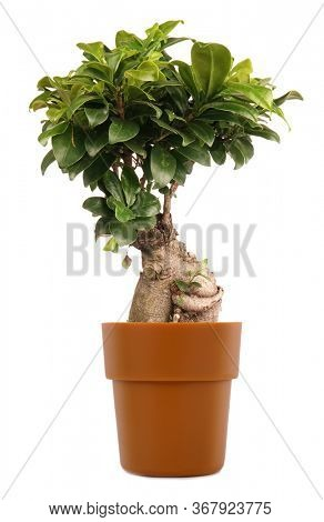 Ficus Ginseng small bonsai tree