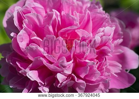 Beautiful Bright Pink Pion. Super Macro. Using As Background Natural