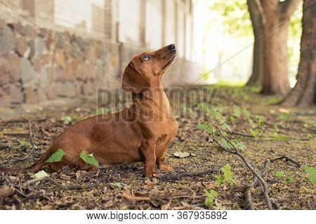 Red Dog Dachshund Hunt Squirrel, Dachshund Sits And Looks Up