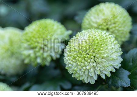 Pompom Chrysanthemums Flower. Green Flower In Flower Garden At Sunny Summer Or Spring Day.