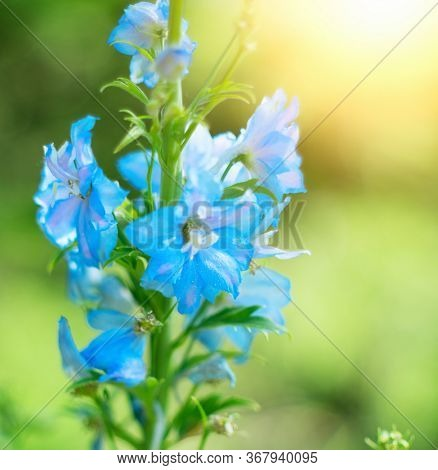 Blue bell flowers on blurred background. Delphinium on a background blur bokeh. Close-up picture of Delphinium flowers. Blue bell flower growing in a botanic garden, nature. Gardening concept