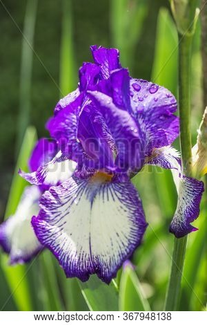 Iris. A Plant With Impressive Flowers, Garden Decoration. Isolated  Iris Germanica Is The Name For A
