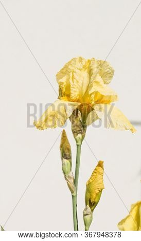 A Plant With Impressive Flowers, Garden Decoration. Isolated  Iris Germanica Is The Name For A Speci