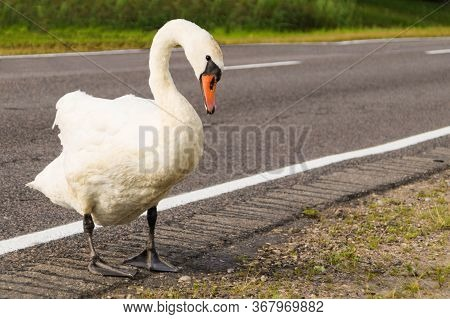 Animal On The Road: Alone Swan Stepped Onto The Edge Of An Asphalted Carriageway
