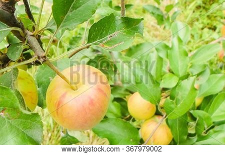 Green Red Striped Apples On Tree Branches. Juicy Apples On Trees In The Middle Of Summer