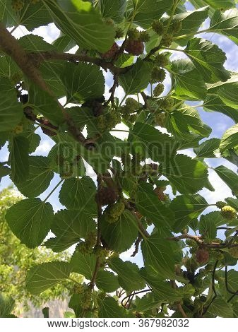 Organic Mulberry Tree And Green Leaves Unripe And Ripe Black Mulberry Tree On A Branch. Purple Red M
