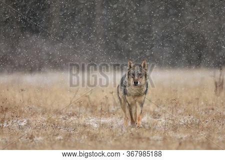 Wolf From Finland. Gray Wolf, Canis Lupus, In The Early Winter, On The Meadow Near Forest. Wolf In T