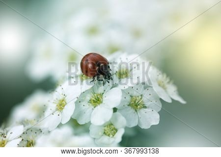 Closeup Of A Red Ladybug On White Flowers. Ladybug Sitting On  White Flowers