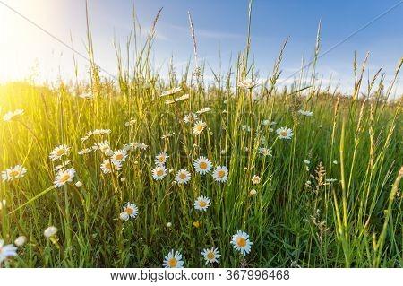 White Flowers Ox-eye Daisy (leucanthemum Vulgare), Oxeye Daisy) In The Spring Meadow