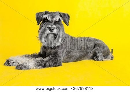Dog. Miniature Schnauzer. Posing In The Studio On A Yellow Background. Executes The Command To Lie.